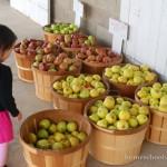 apple orchard barrels of apples
