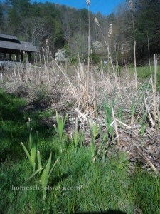 Cattails in Gatlinburg
