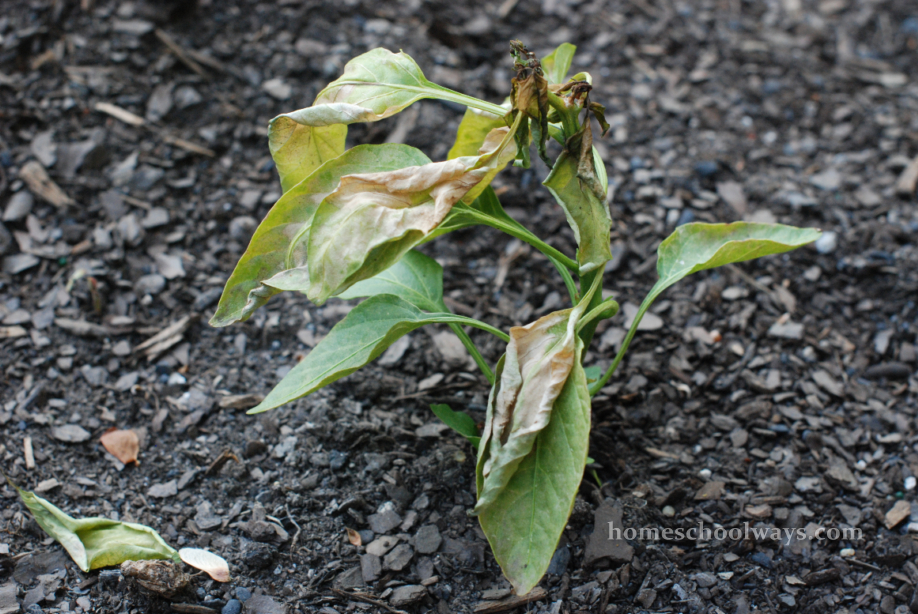 Pepper plant shriveled up because of snow