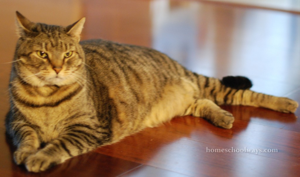 Large male tabby cat