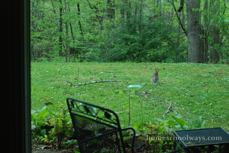 Rabbit in backyard