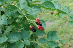 Blackberry bush - almost ripe