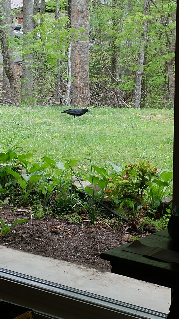 Crow on the ground
