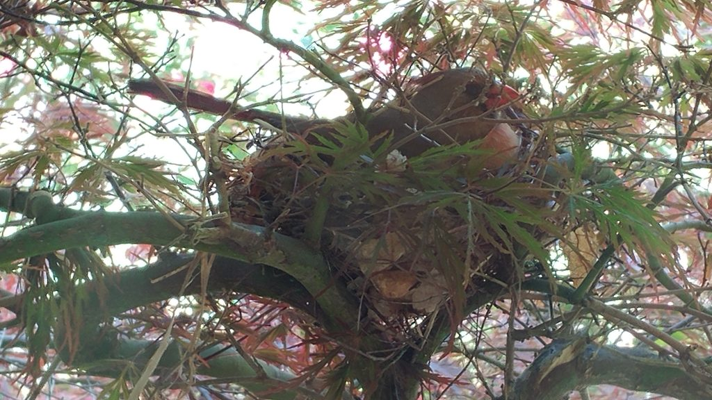 Female cardinal sitting on eggs in nest