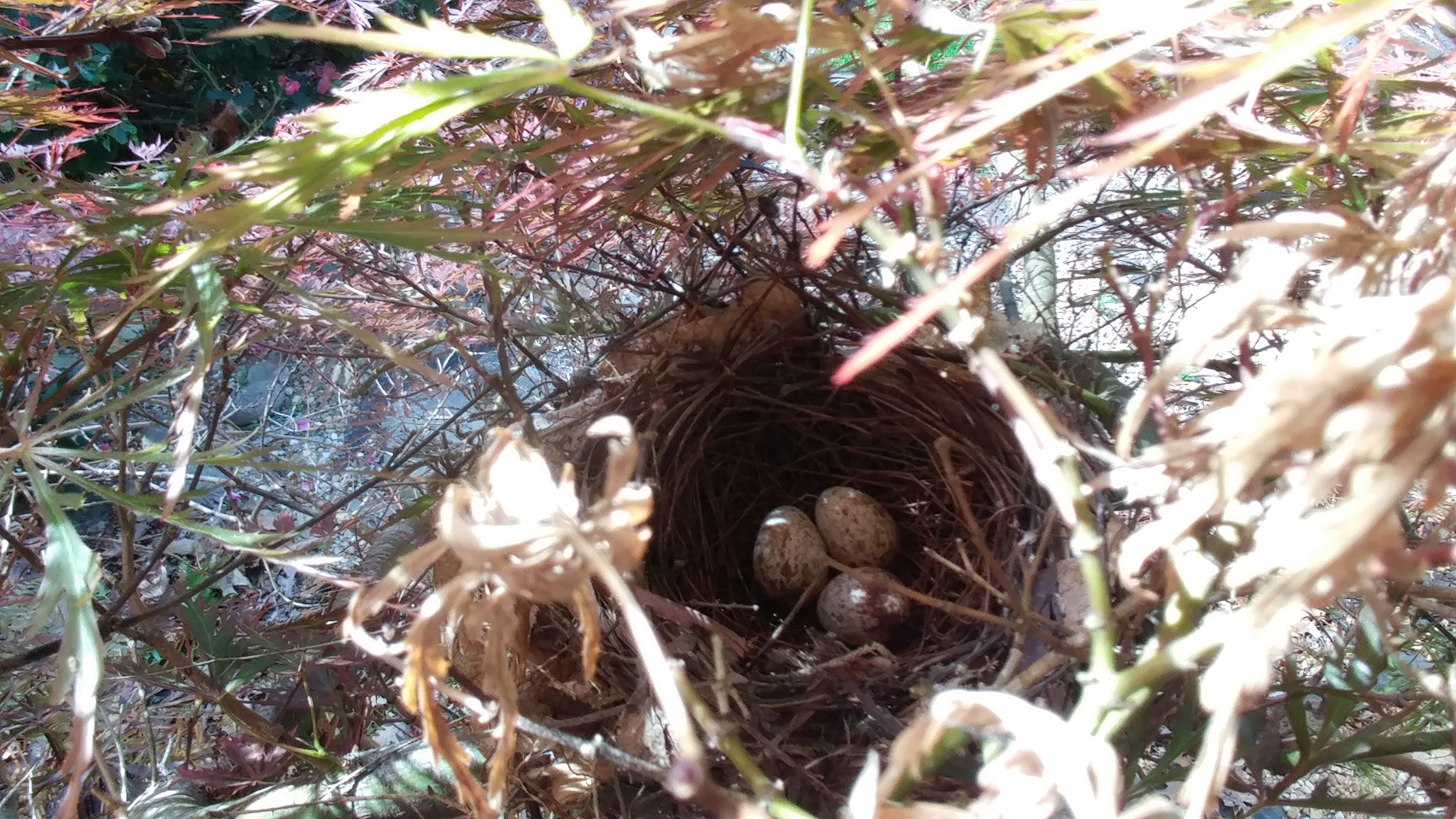 Cardinal eggs in nest