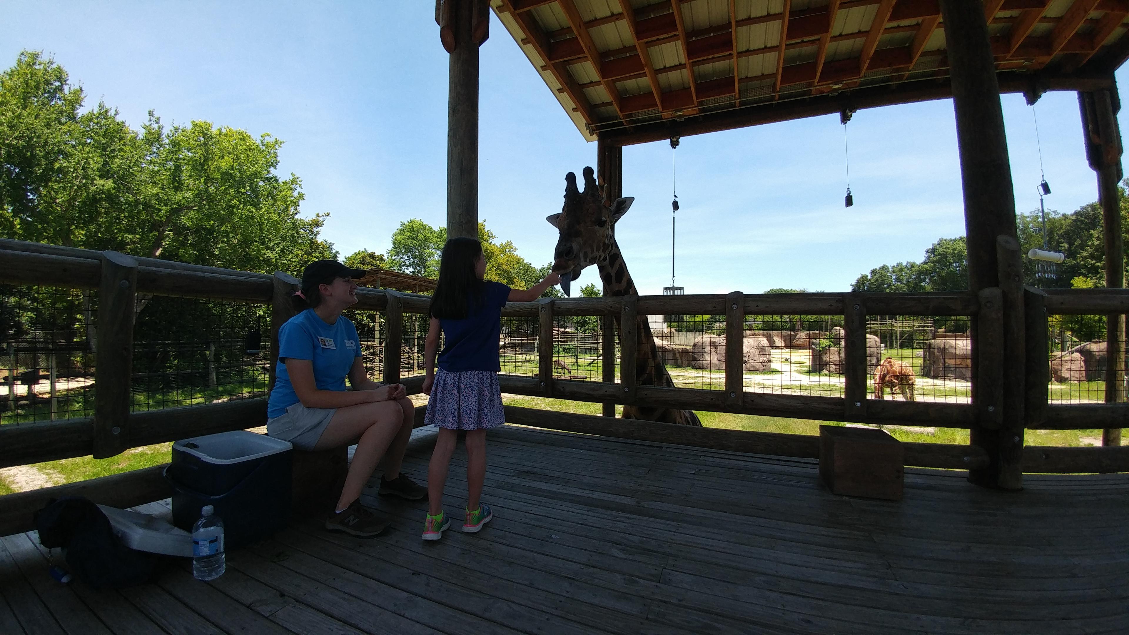 Girl feeds giraffe at the zoo